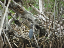 Mangrove roots in Ding Darling State ParkKayaking Ding Darling State Park