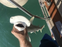 Tom's baby hammerhead shark catch
