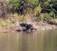 Big alligator on bank